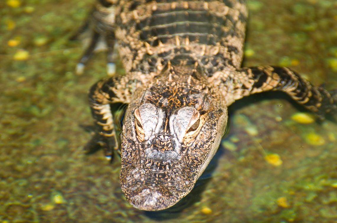 Sea World Orlando, Crocodiles/ Крокодилы