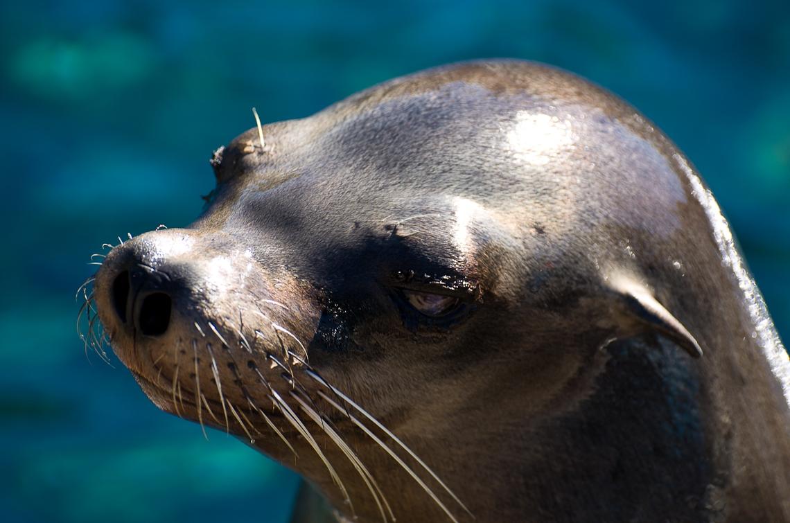 Sea World Orlando, Sea Lions / Морские львы, Сивучи