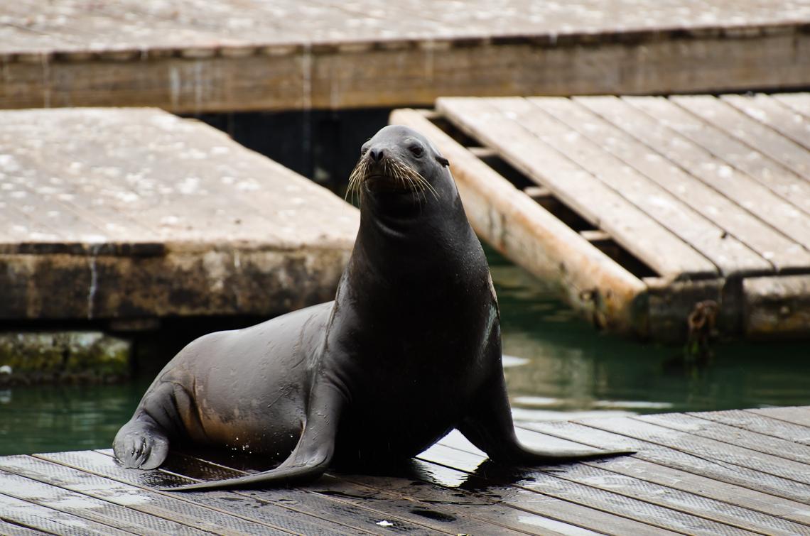 Сан Франциско, Пирс 39, Морские львы / San Francisco, Pier 39, Sea lion