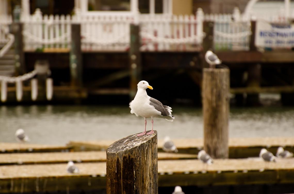 Сан Франциско, Пирс 39 / San Francisco, Pier 39, Seagull