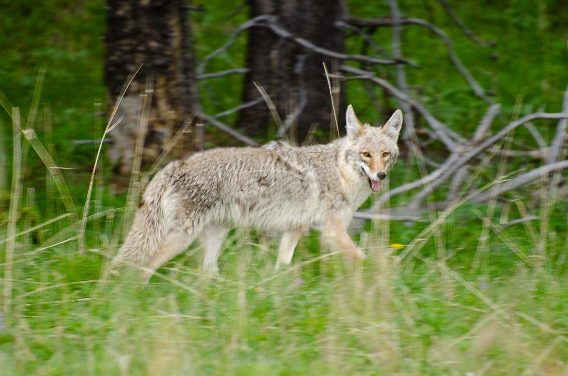 Yellowstone, Coyote