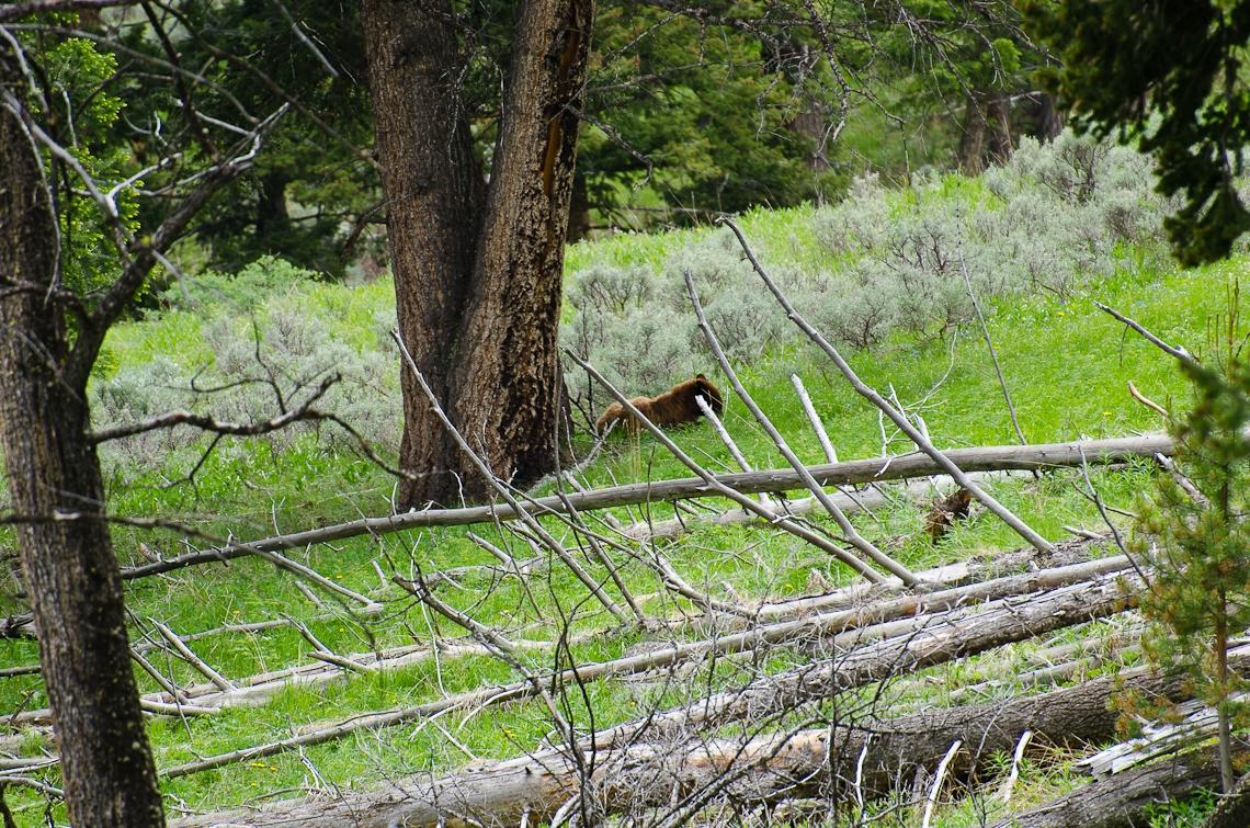 Yellowstone, Bear