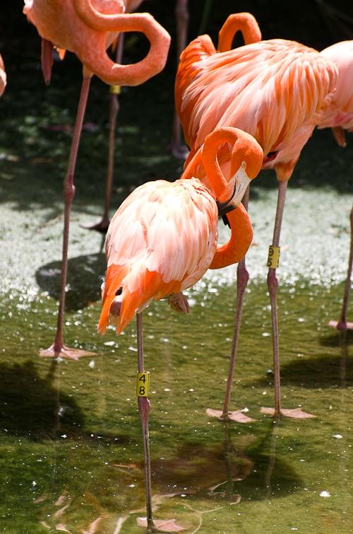 Flamingo, Фламинго