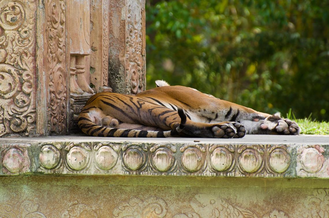 Tiger, Тигр
