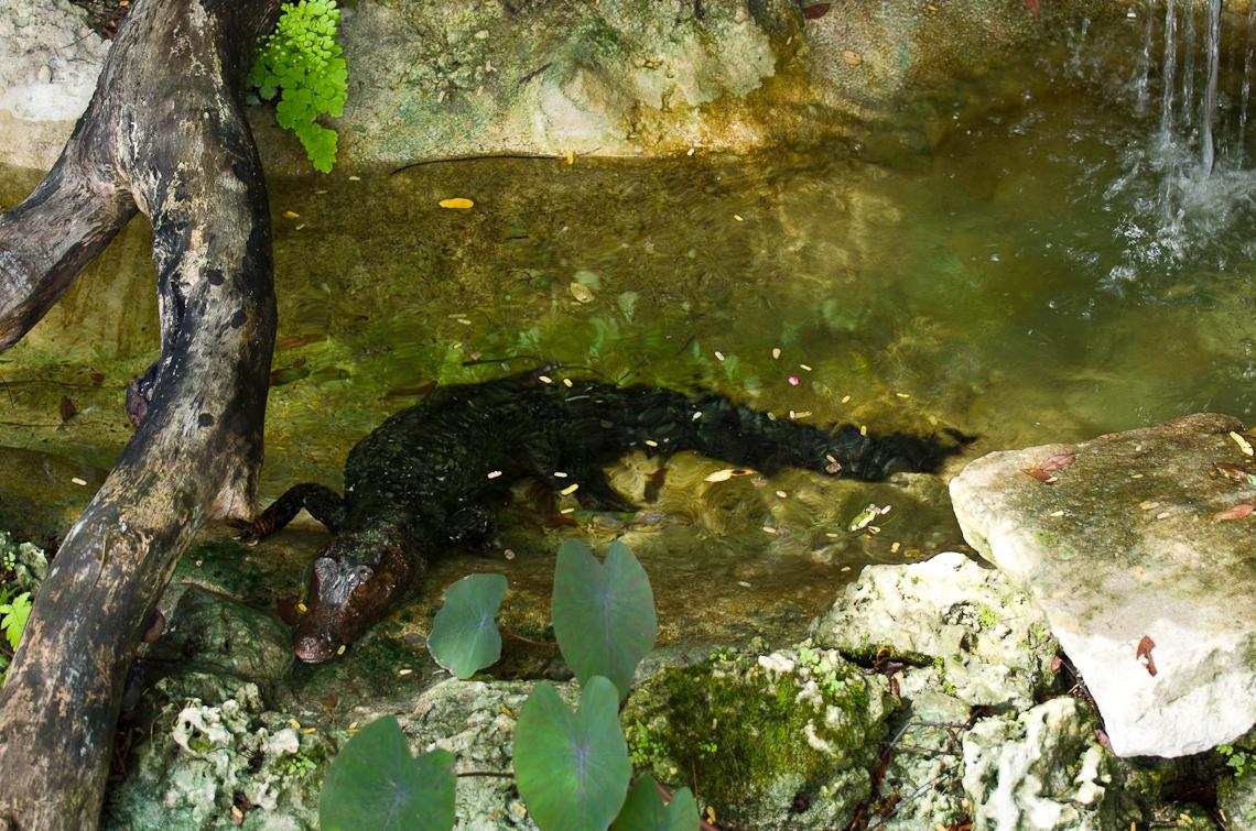 Cuban Crocodile, Кубинский крокодил