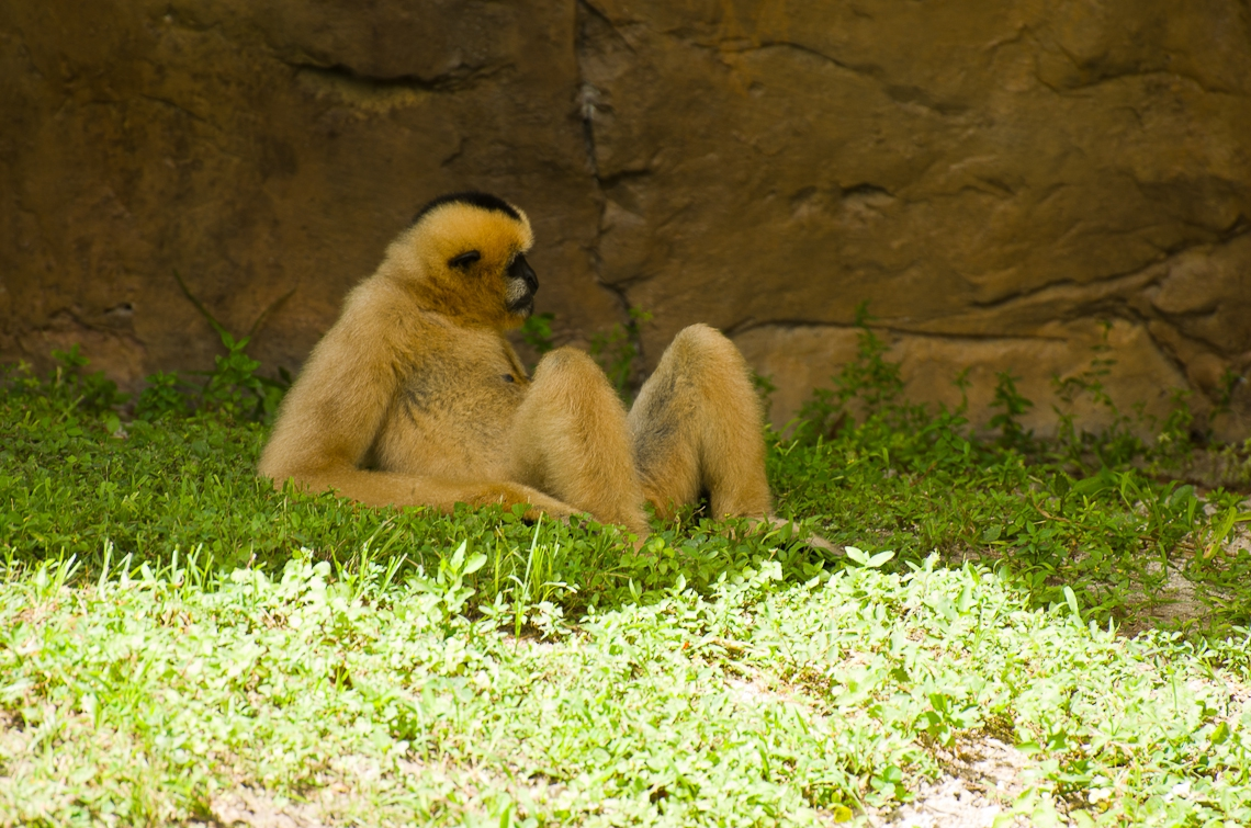 Gibbon, Гибон
