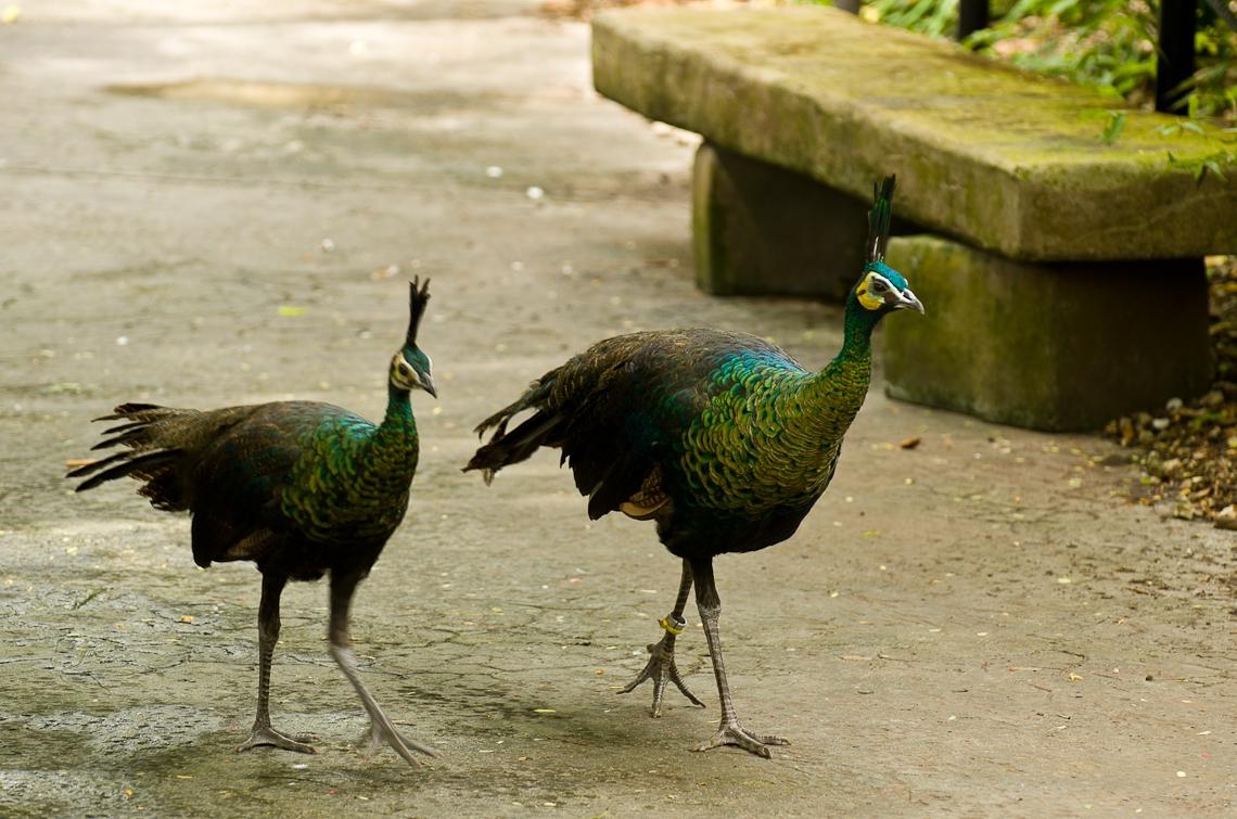 Peacock, Павлин