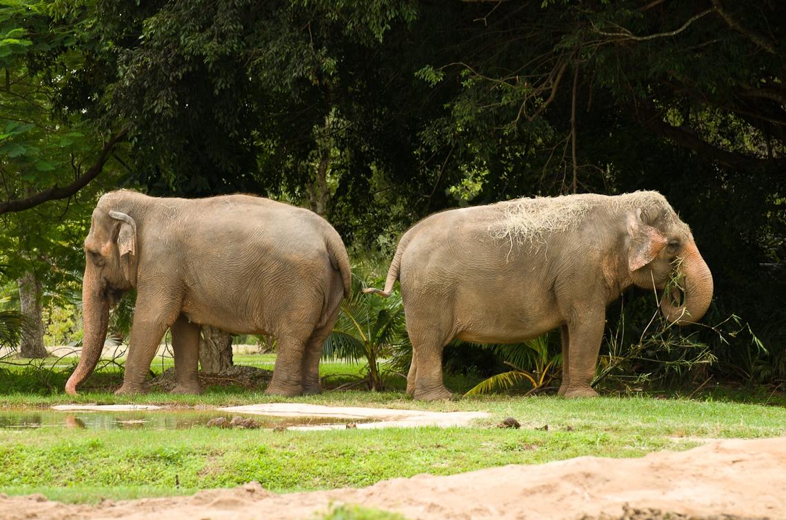 Indian Elephants, Индийский слоны