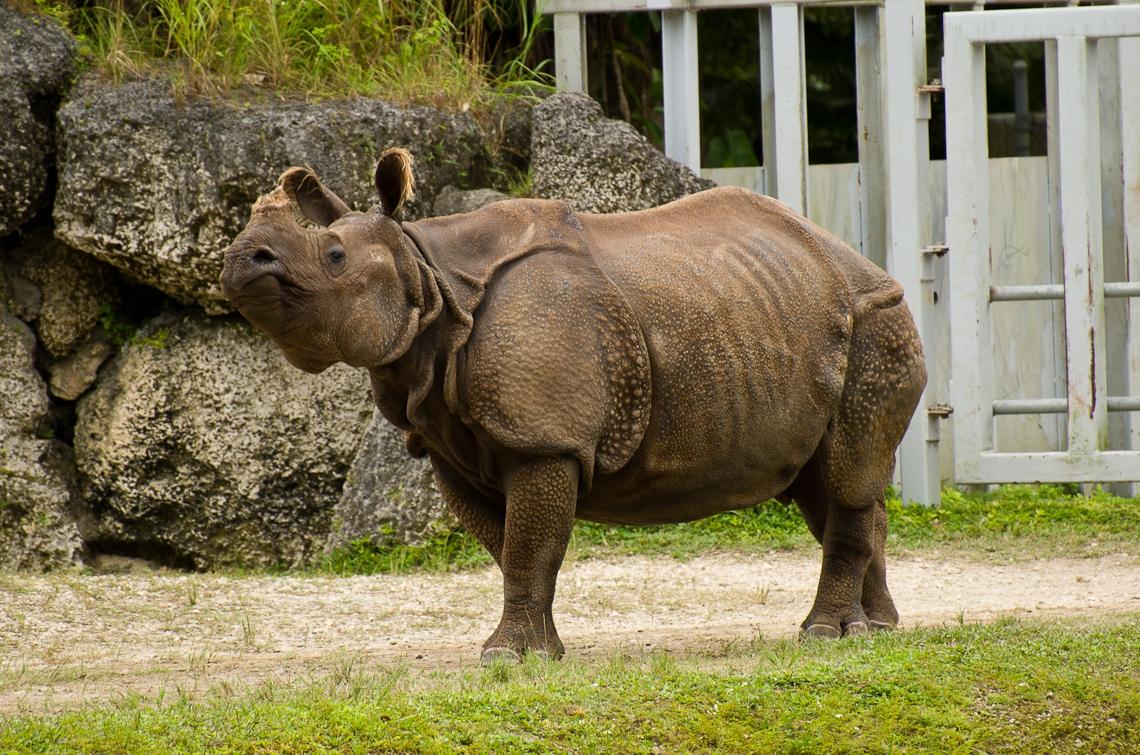 Indian Rhino, Индийский носорог