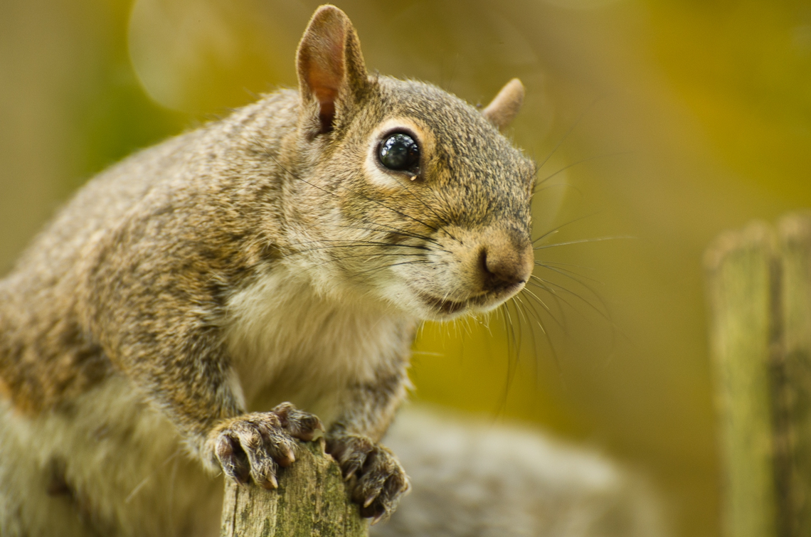 Squirrel, Белка