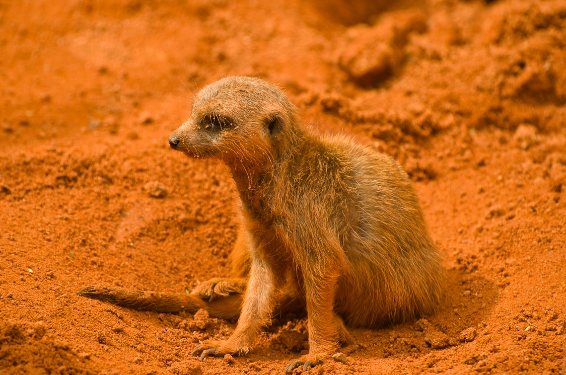 Meerkat, Сурикат