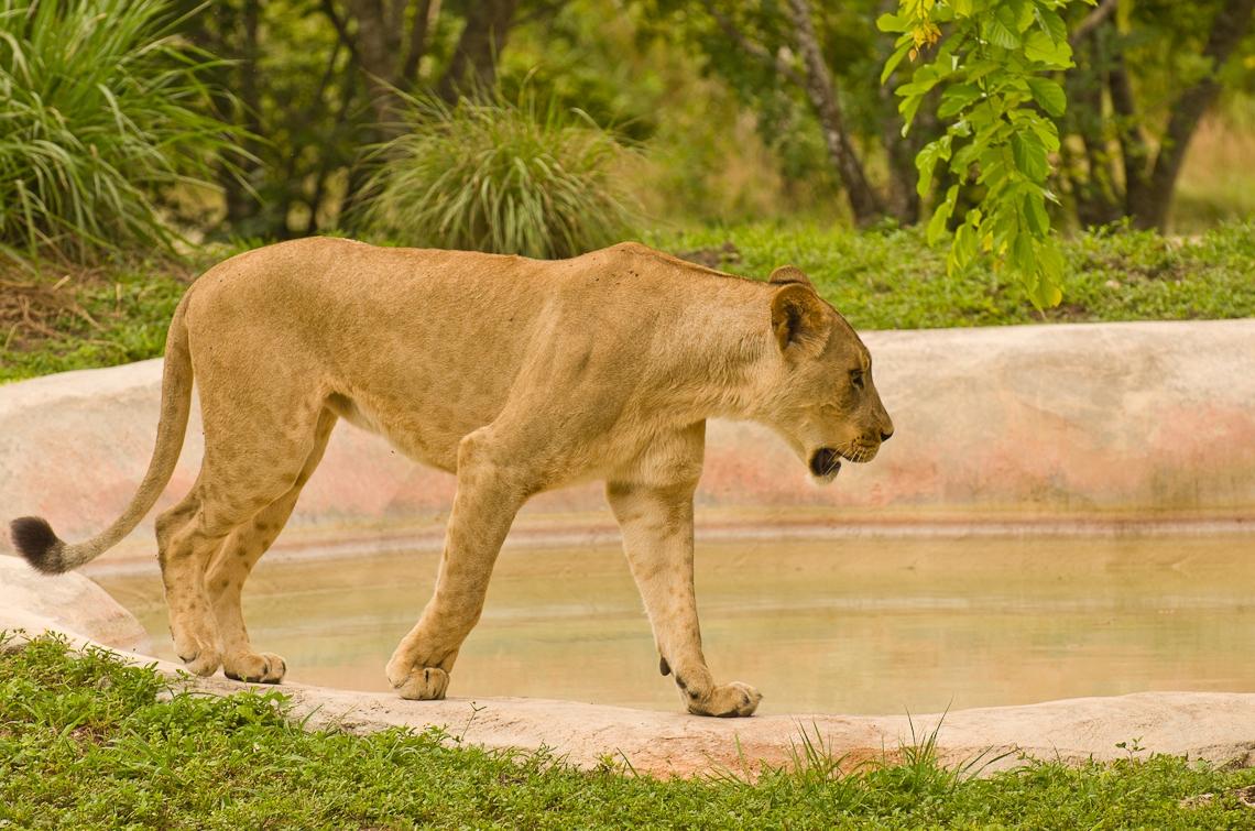 Lions, Львы