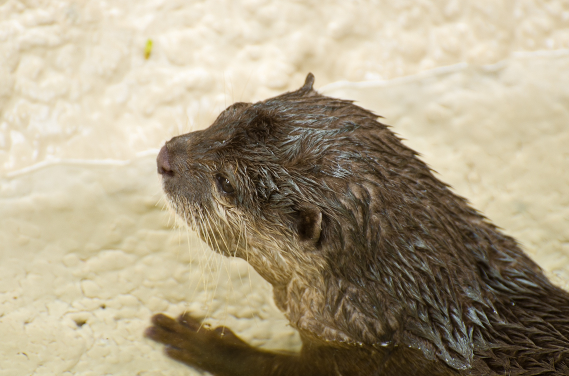 Oriental small-clawed otter, Восточная бескоготная выдра