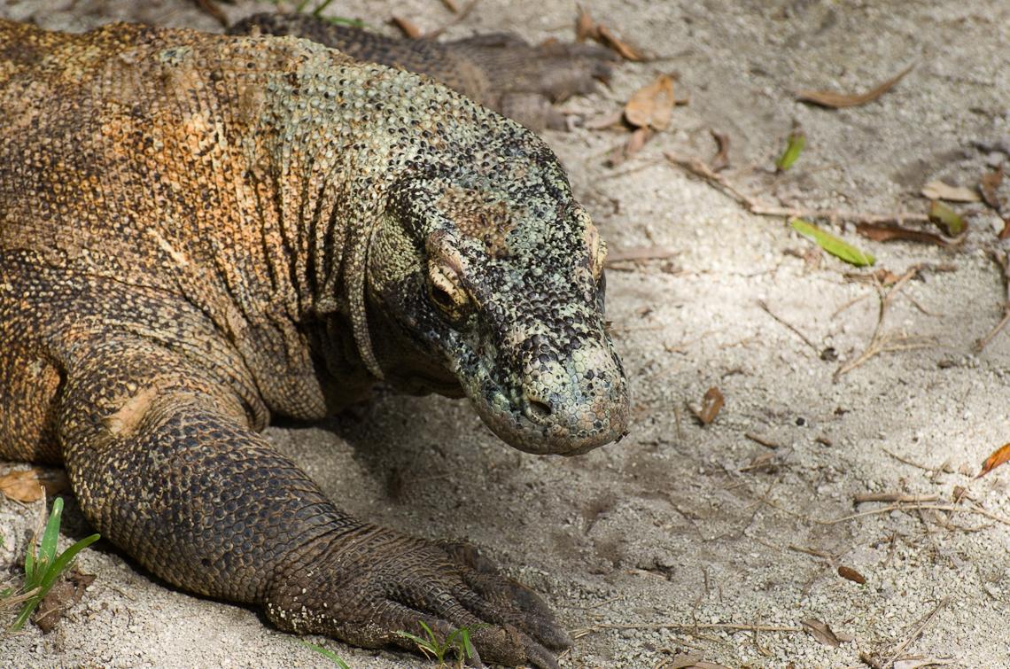Komodo dragon. Комодский варан