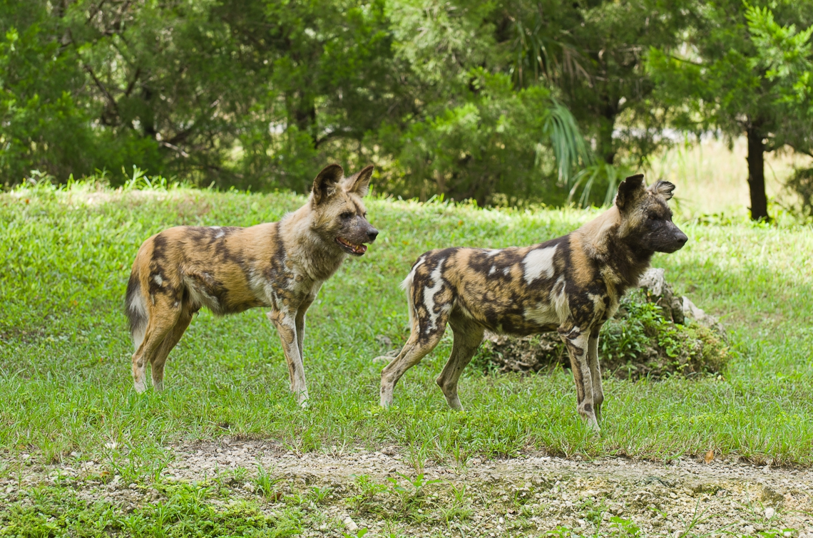 African wild dog, African hunting dog, Cape hunting dog, painted dog, painted wolf, painted hunting dog, spotted dog, ornate wolf, гиеновидная собака