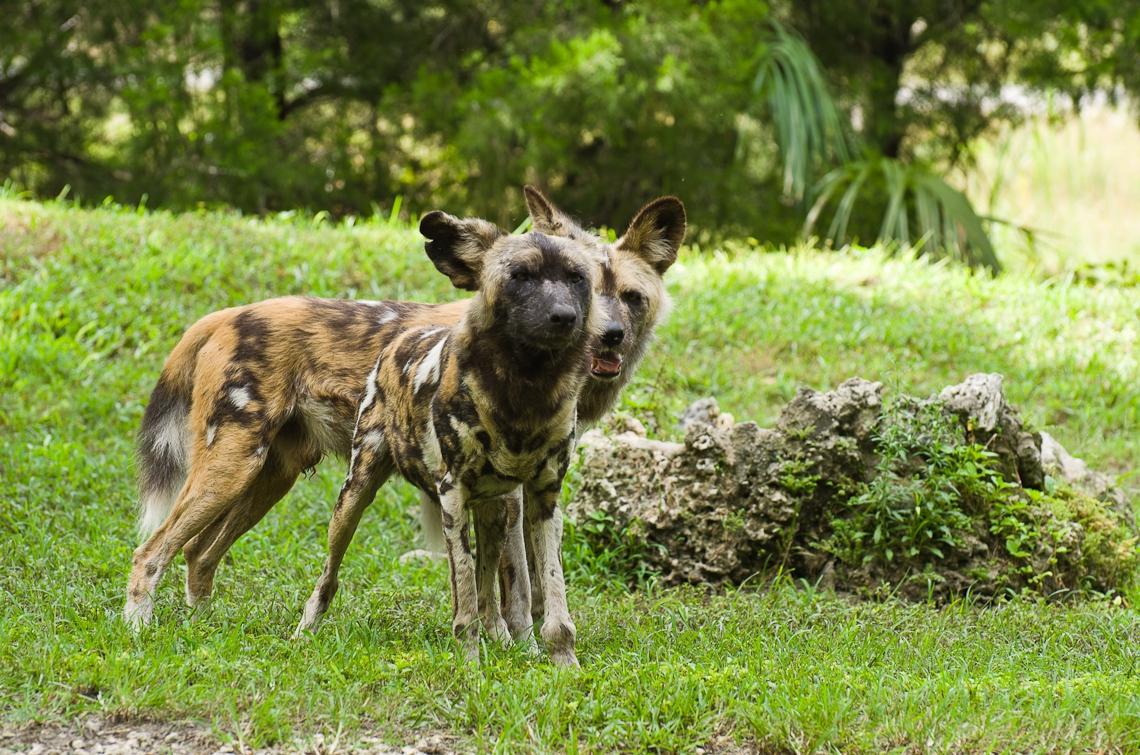 wolf, painted hunting dog, spotted dog, ornate wolf, гиеновидная собака