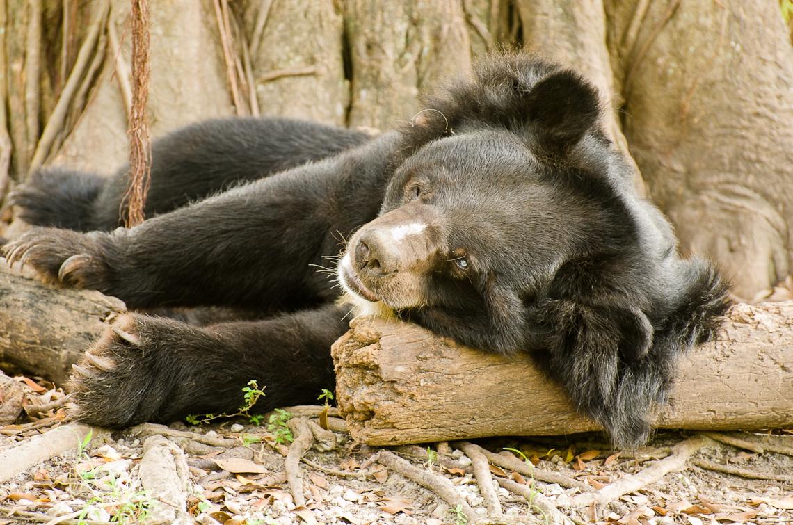 Asian bear, Азиатский медведь