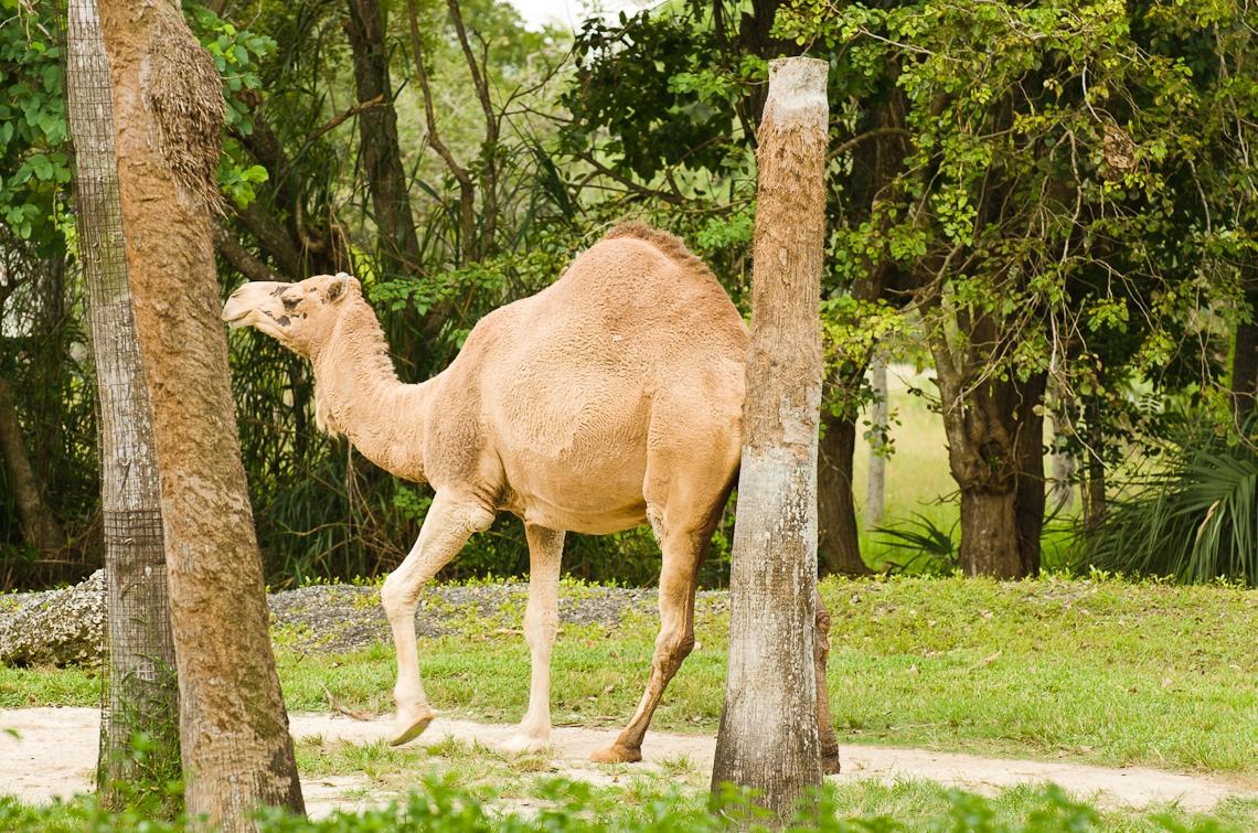 Camel, Верблюд