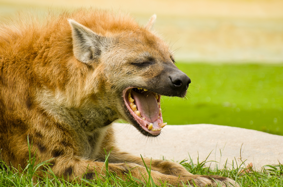 Spotted hyena, Laughing hyena, Пятнистая гиена