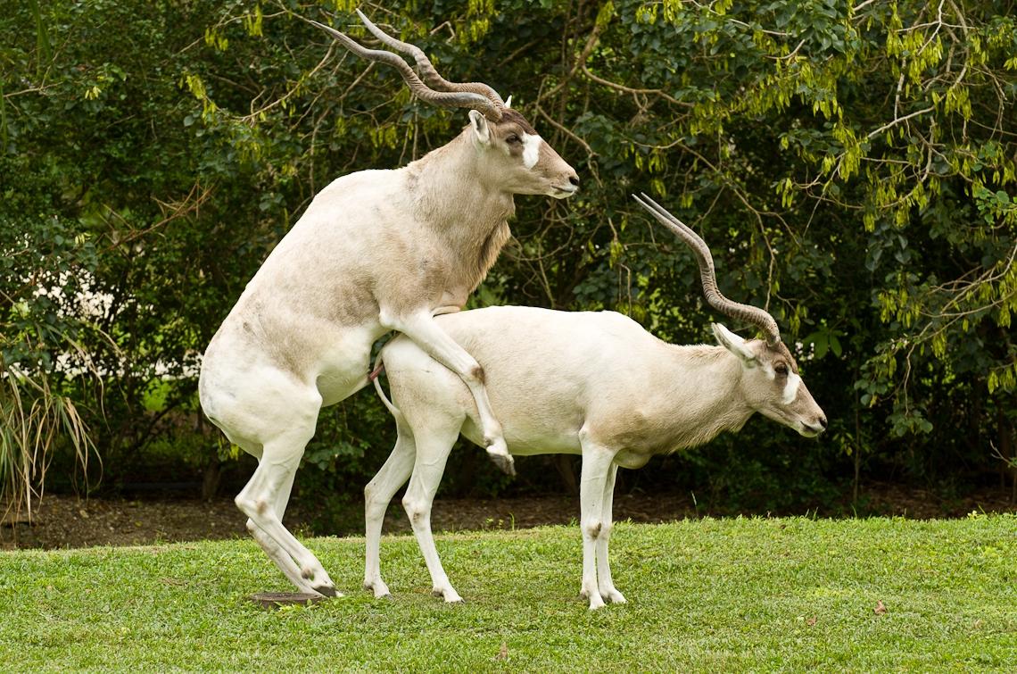 Addax, White Antelope, Аддакс, Антилопа Мендес