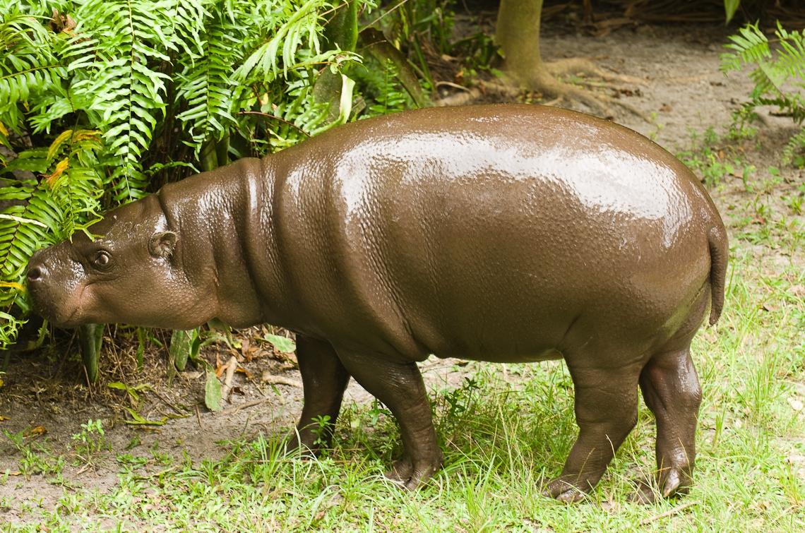 Hippopotamus, Бегемот