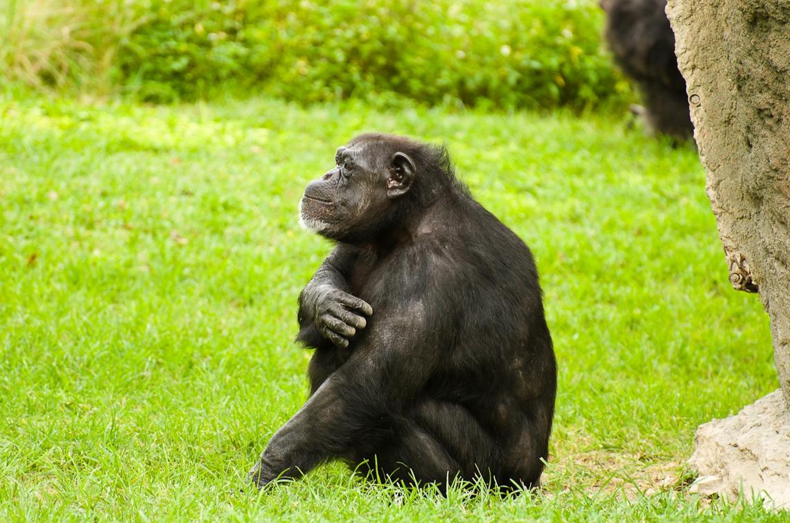 Chimpanzee, Шимпанзе