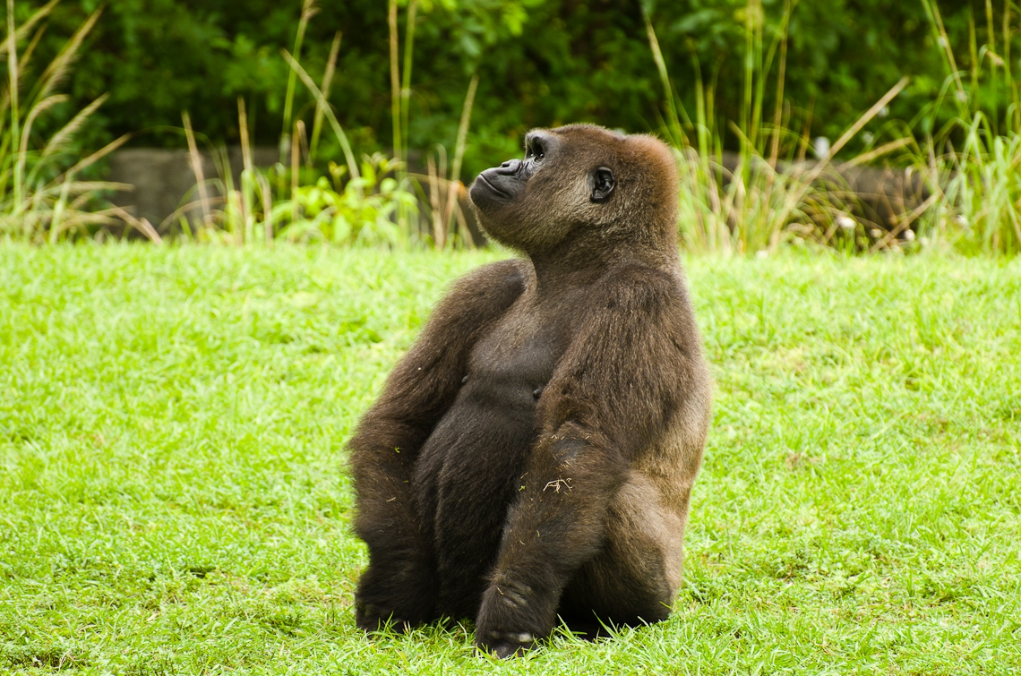 Gorilla, Горилла