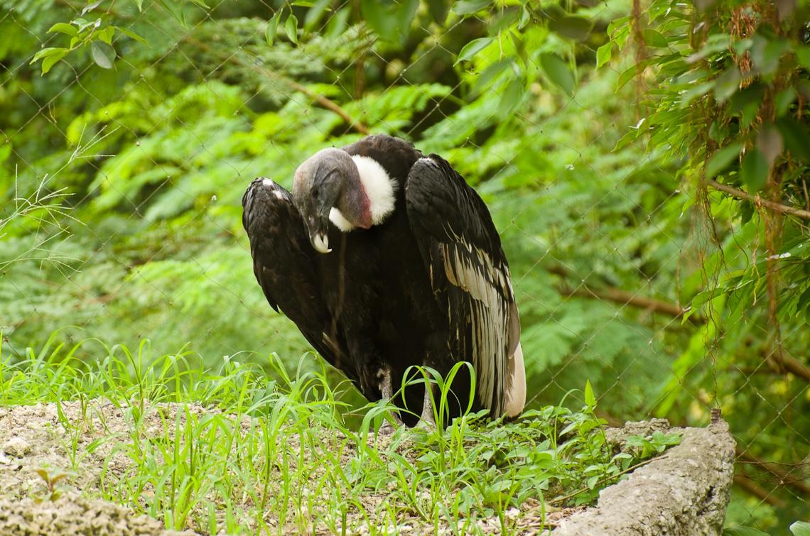 Andean Condor, Андский кондор