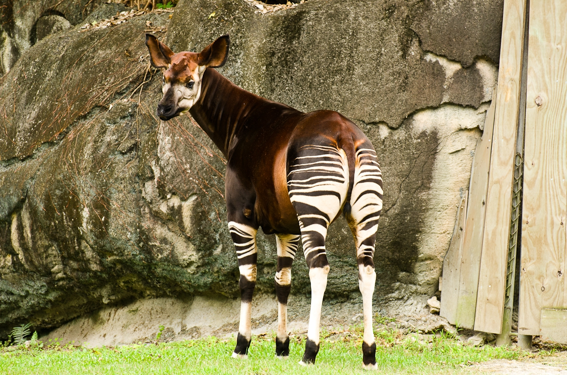 Okapi, Окапи