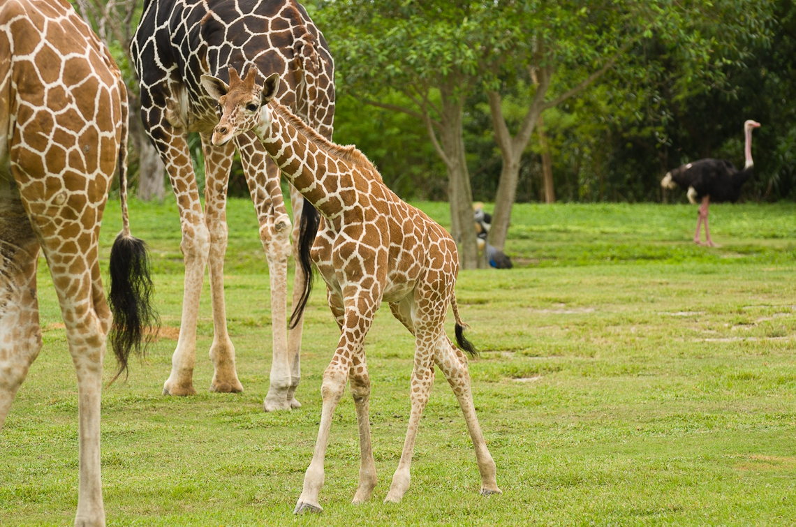 Giraffes, Жирафы