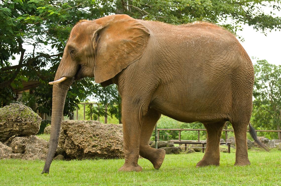 African Elephant, Африканский слон