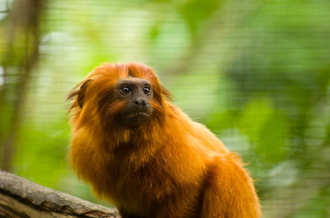 Monkey, Обезьянки