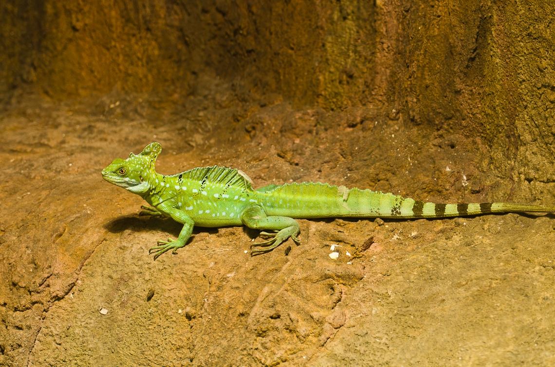 Lizard, Ящерица