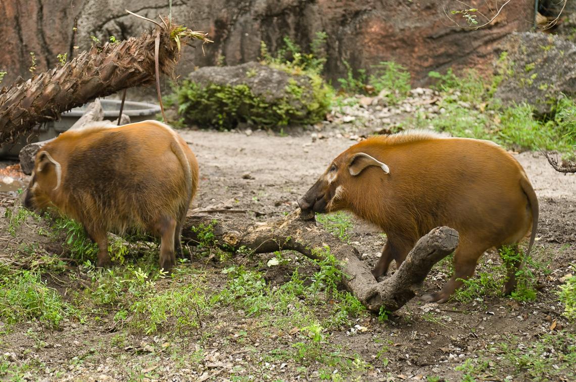 Red river hog, Кистеухая свинья,