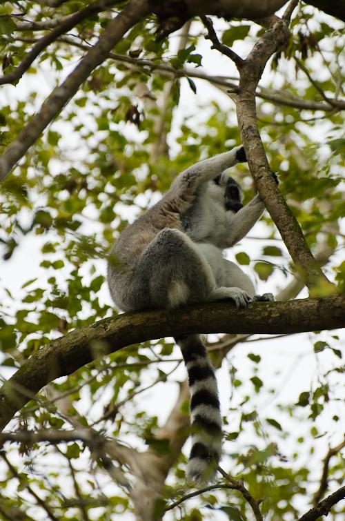 Lemur, Лемур
