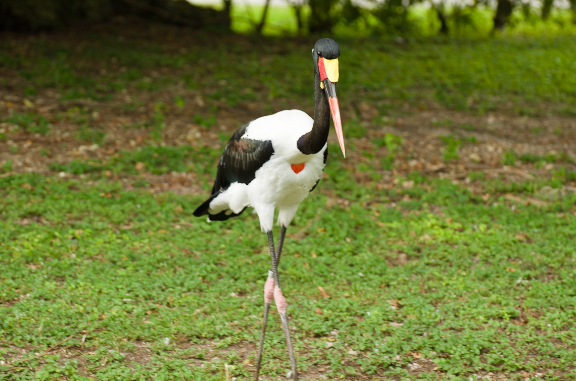 Saddle-billed Stork, Седлоклювый ябиру